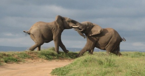 elephants-fighting1-570x301